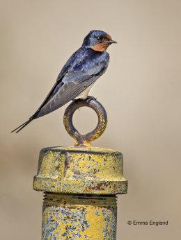 Perching Swallow
