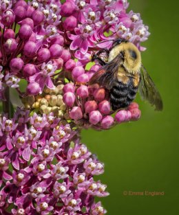 Bee on Milkweed