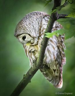 Preening Barred Owl