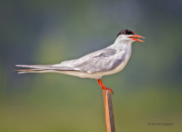Perching Tern