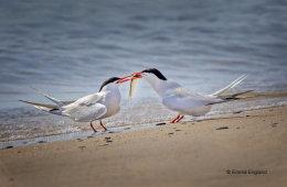 Tern Courtship Display