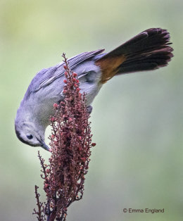 Gray Catbird on Sumac