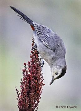Catbird Acrobatics