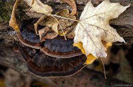 Late Fall Polypore