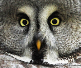 Close Encounter with a Great Grey Owl