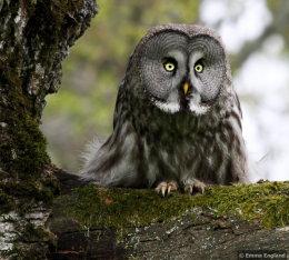Great Grey Owl in Oak