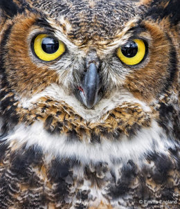 Great Horned Owl in Detail