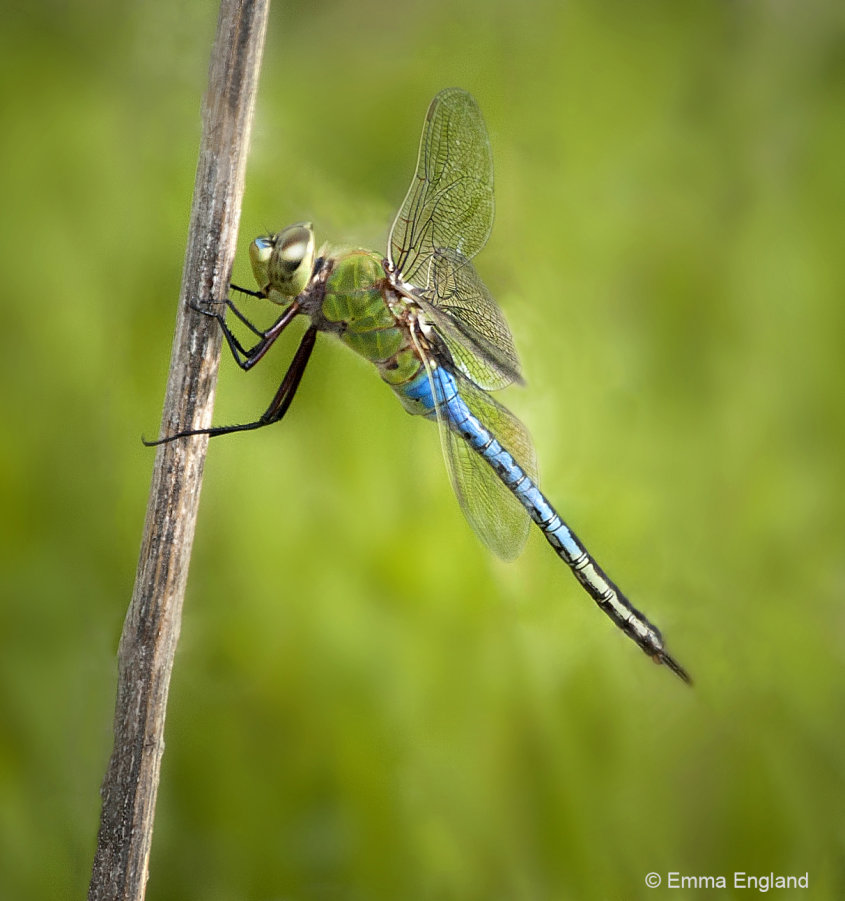 Male Common Green Darner dragonfly