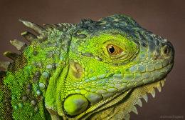 Green Iguana Portrait