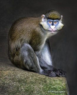 Schmidt's Red-tailed Guenon