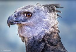 Harpy Eagle Portrait