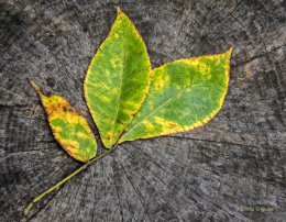 Fall Hickory Leaves