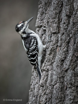 Juvenile Hairy Woodpecker