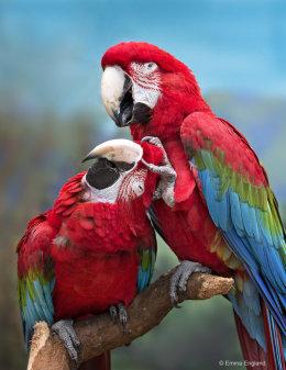 Macaw Massage