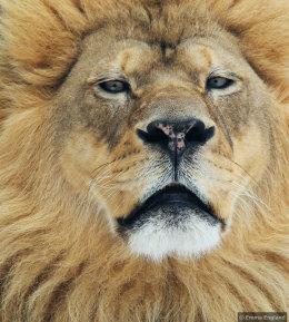 Magnificent Lion