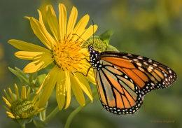 Nectaring Monarch