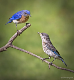 Mr Bluebird and baby