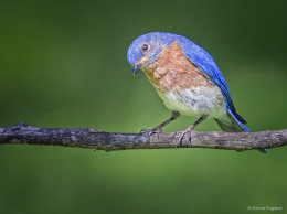 Backyard Bluebirds
