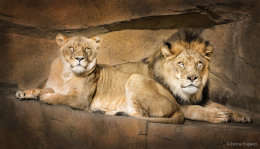 Mr and Mrs Lion
