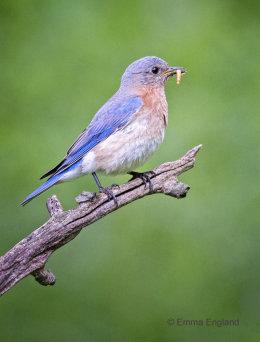 Beautiful Female Bluebird