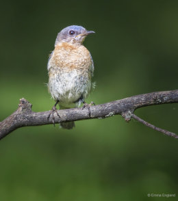 Mrs Bluebird Posing