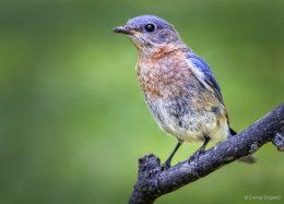 Beautiful Bluebird