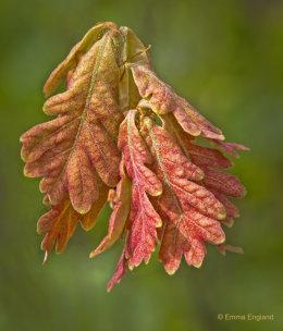 Oak's Fall Colors