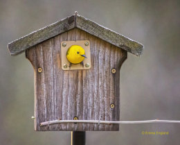 Prothonotary Warbler House