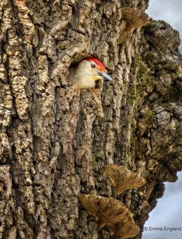 Red-bellied Woodpecker Nest