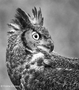 Great Horned Owl in Monochrome