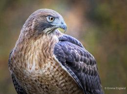 Handsome Hawk