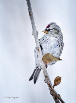 A Winter Finch