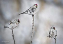 A Trio of Redpolls