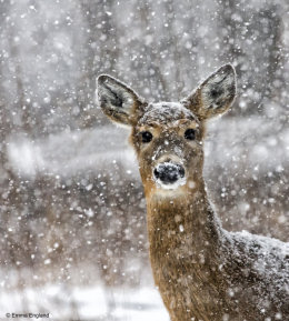 Deer in Blizzard