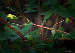 Common Walkingstick