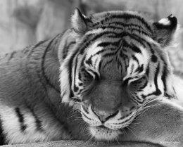 Tiger Dreams Monochrome