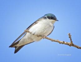 Resting Tree Swallow
