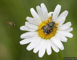 Flower Scarab beetle