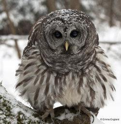 Fluffy Barred Owl