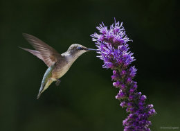 Hummer and Blazing Star