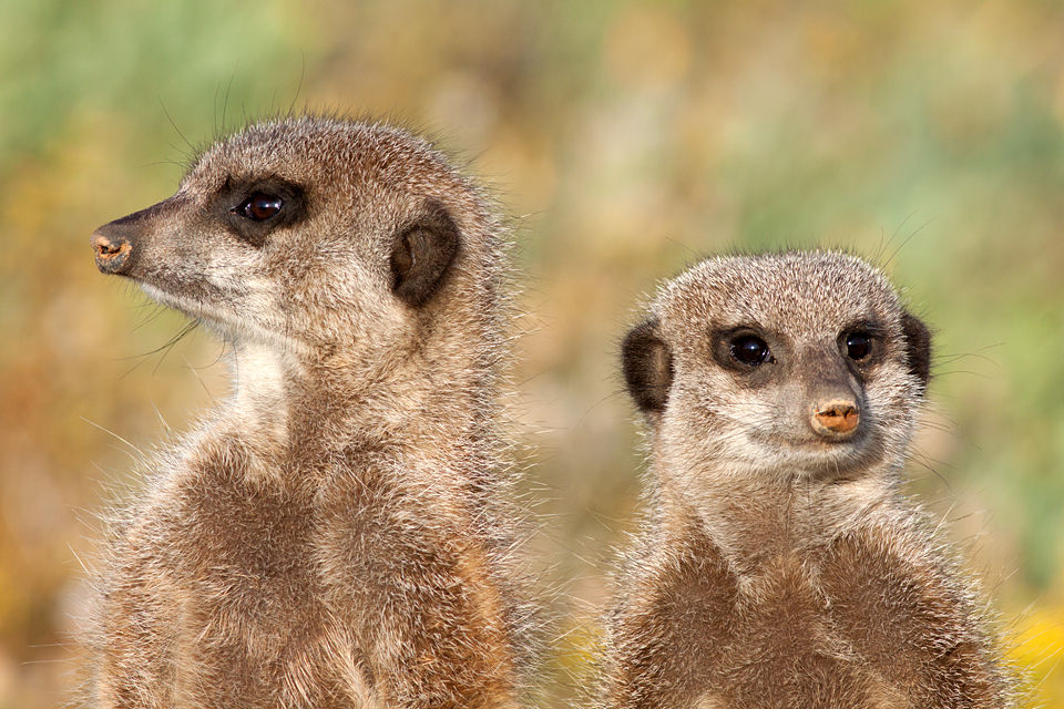 Two meerkats (Suricata suricatta) in the early morning light. Canon 50D, Canon EF 400mm f/5.6 L USM, 1/500, f/8, iso 4300, handhold.