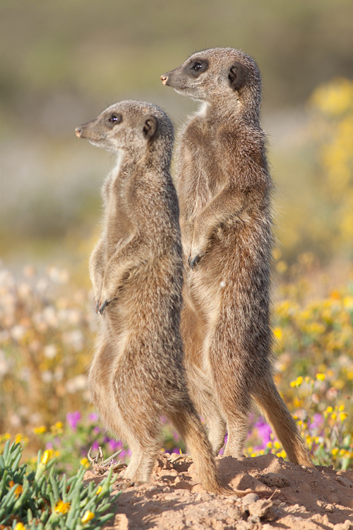 Two meerkats (Suricata suricatta) having a staring contest. Canon 50D, Canon EF 400mm f/5.6 L USM, 1/500, f/8, iso 400, handhold.