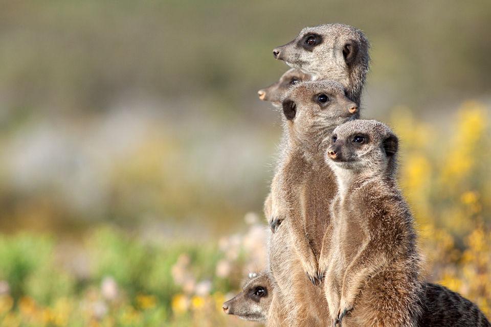 Five meerkats (Suricata suricatta) checking their perimeter. Canon 50D, Canon EF 400mm f/5.6 L USM, 1/500, f/8, iso 400, handhold.