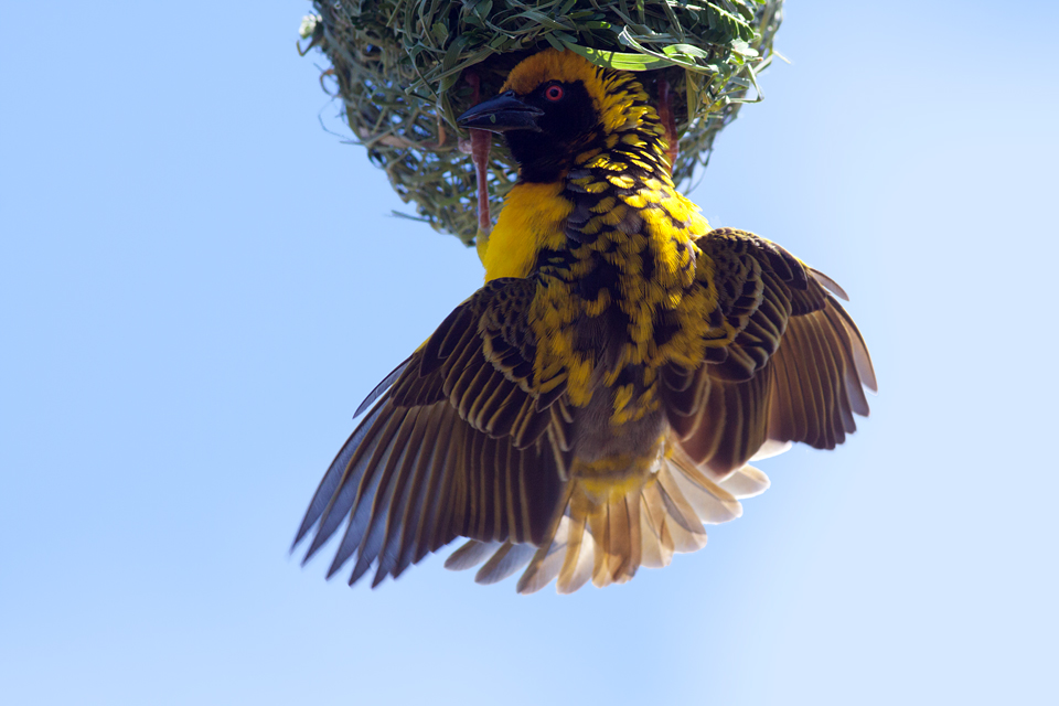 A male African masked weaver (Ploceus velatus) building its nest. Canon 50D, Canon EF 400mm f/5.6 L USM, 1/500, f/8, iso 640, handhold.