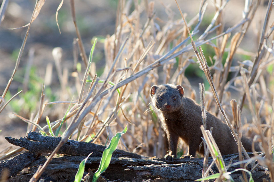 A curious dwarf mongoose (Helogale parvula). Canon 50D, Canon EF 400mm f/5.6 L USM, 1/320, f/5.6, iso 400, handhold from car.