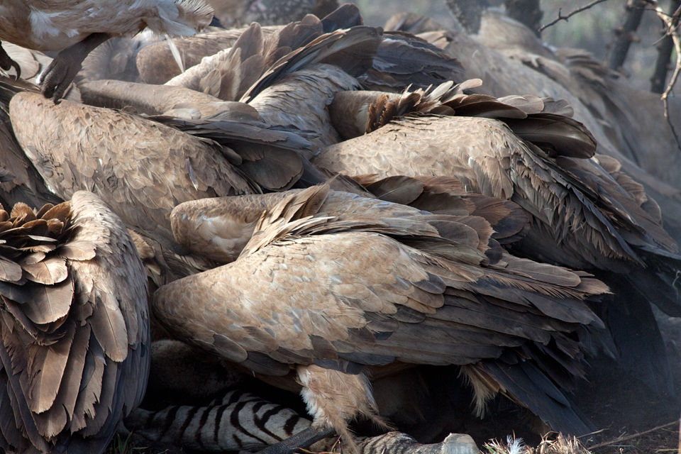 A frenzy of white-backed vultures (Gyps africanus). Canon 50D, Canon EF 400mm f/5.6 L USM, 1/500, f/8, iso 500, handhold from car.