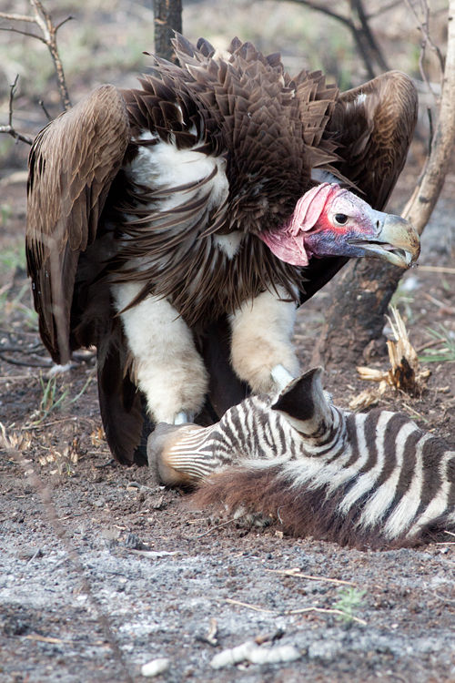 A lappet-faced vulture (Torgos tracheliotos) standing protectively over its trophy: a zebra's head. Canon 50D, Canon EF 400mm f/5.6 L USM, 1/640, f/8, iso 1000, handhold from car.