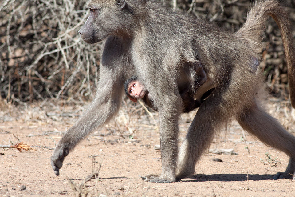 A curious baby chacma baboon (Papio ursinus) seeing the world upside down. Canon 50D, Canon EF 400mm f/5.6 L USM, 1/500, f/8, iso 320, handhold from car.