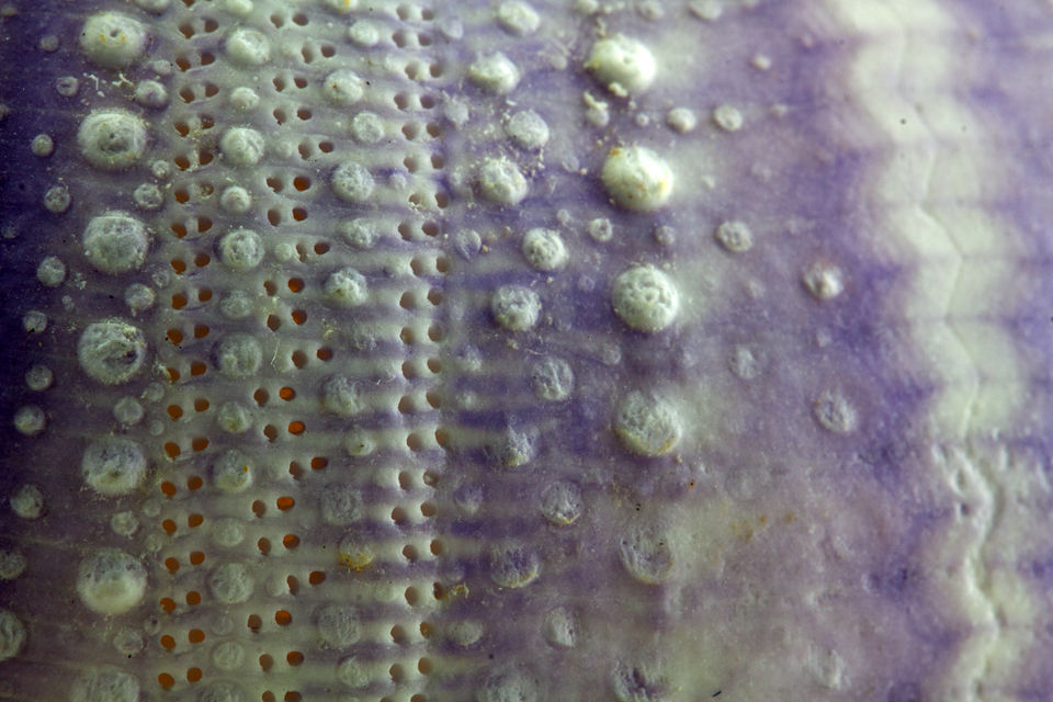 Detail of the skin or test of a sea urchin. Canon 50D, Canon EF 100mm f/2.8 USM Macro, 5, f/16, iso 100, tripod.