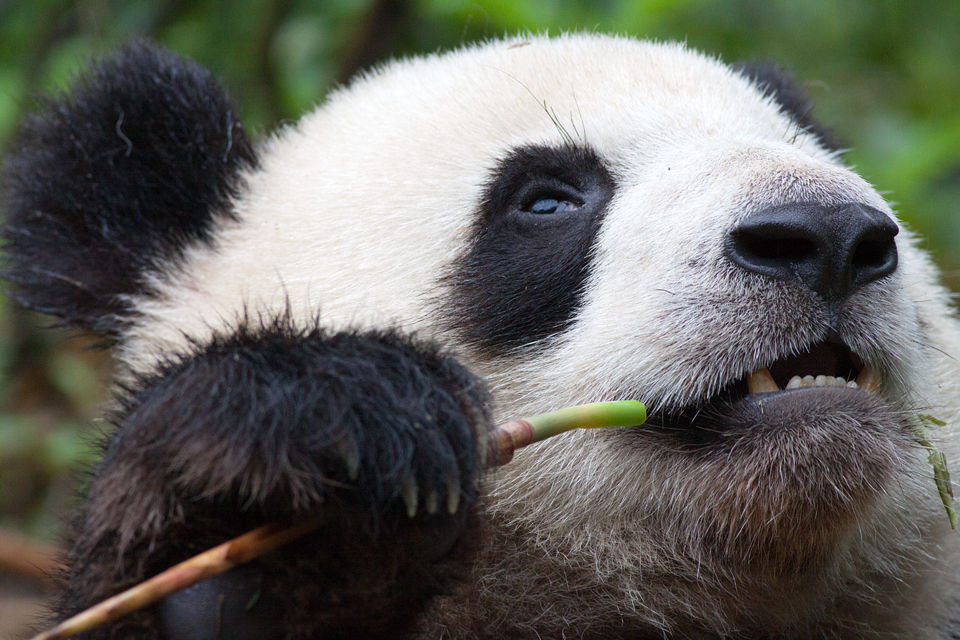 A (captive) panda (Ailuropoda melanoleuca) chewing bamboo. Canon 50D, Canon EF 400mm f/5.6 L USM, 1/500, f/8, iso 1000, handhold.